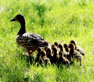 Ducklings following duck.