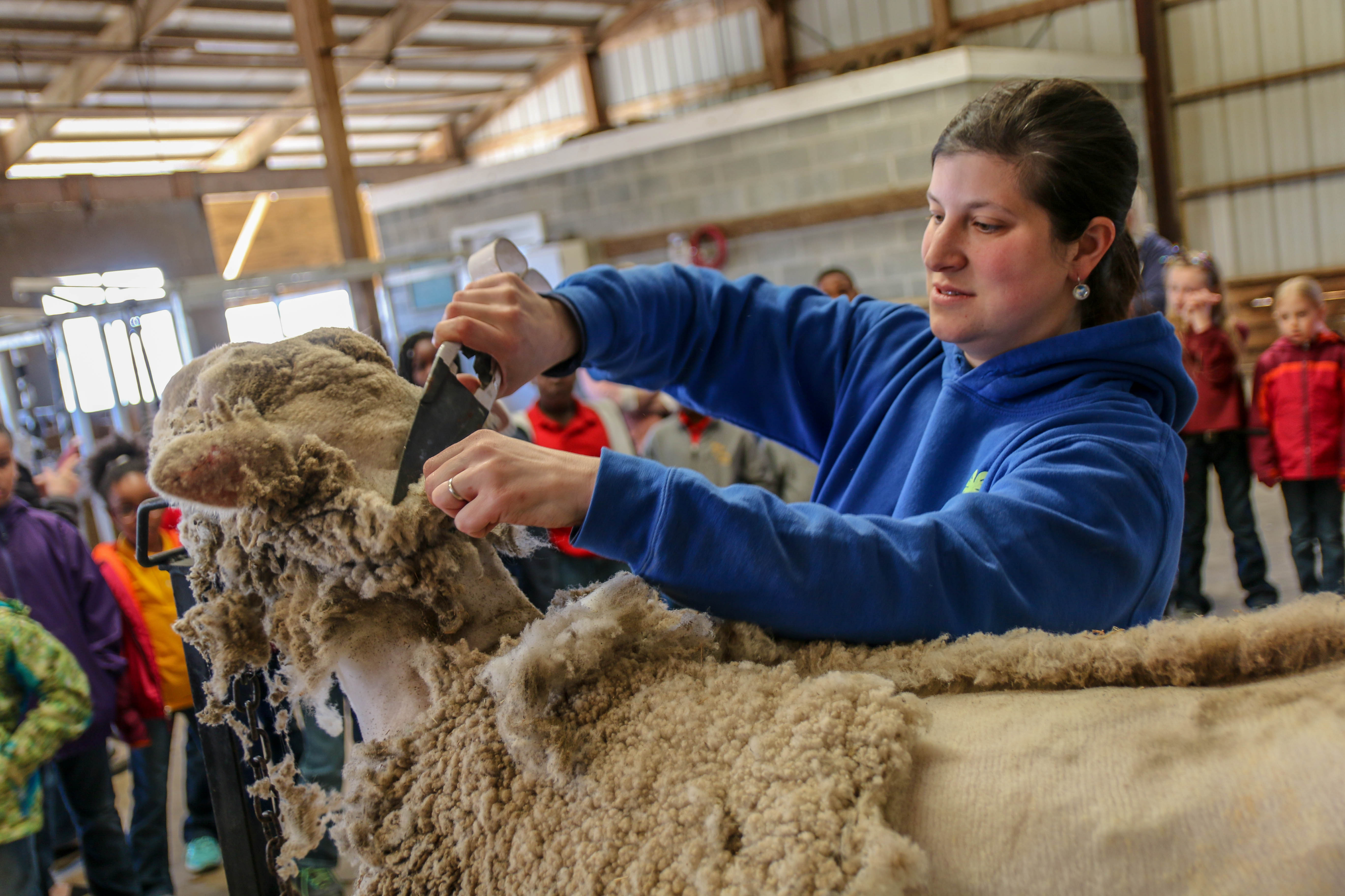Elementary students learn how to shear sheep
